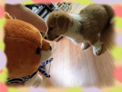 愛犬の死と新しい家族(コーギー犬)とのスタート